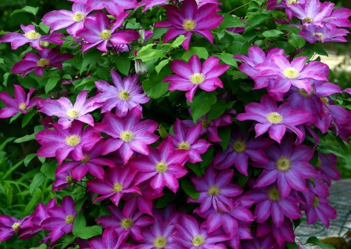 клематис пурпуреа плена элеганс фото и описание