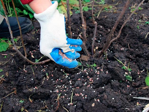 Подготовка малины к зиме: что необходимо малине осенью