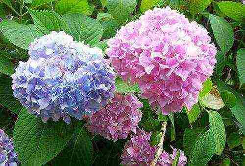 цветы гортензия посадка и уход фото