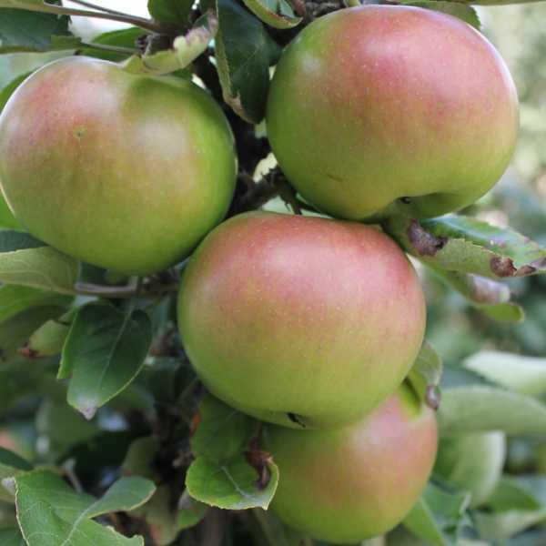 Сорта яблок: классификация, характеристика разных деревьев, список видов