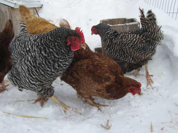 Как убить курицу: 5 простых шагов для начинающих
