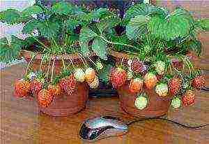 Как выращивать клубнику круглый год: в теплице, на подоконнике, в квартире – какой сорт, можно ли, видео, отзывы, технология разведения