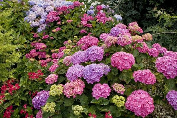 гортензия цветок