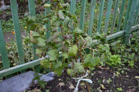 Размножение смородины черенками: способы и рекомендации | усадьба