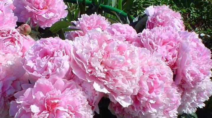 Пионы: описание и правила выращивания