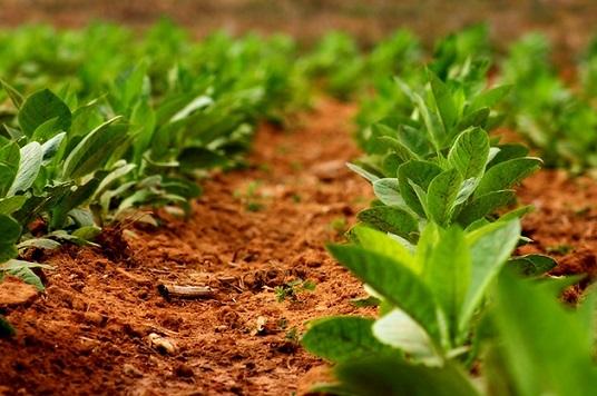 как выращивать табак в домашних условиях
