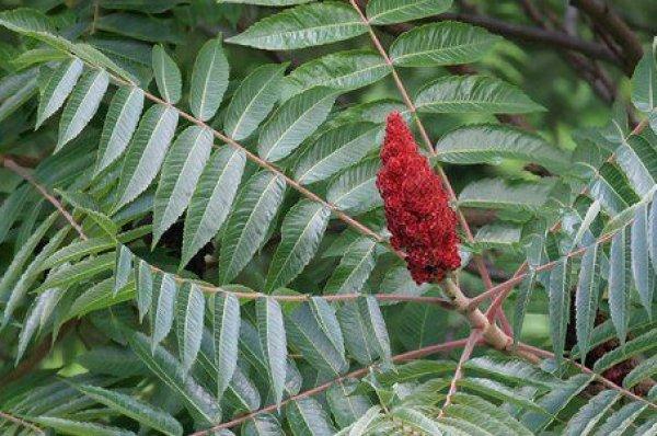 Сумах оленерогий (уксусное дерево): фото, описание, посадка и уход