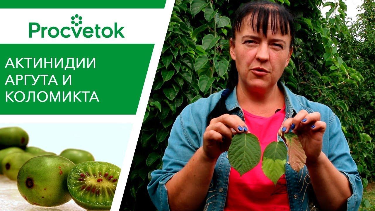 Актинидия — всё о выращивании чудо-ягоды. посадка и уход. сорта. фото — ботаничка.ru