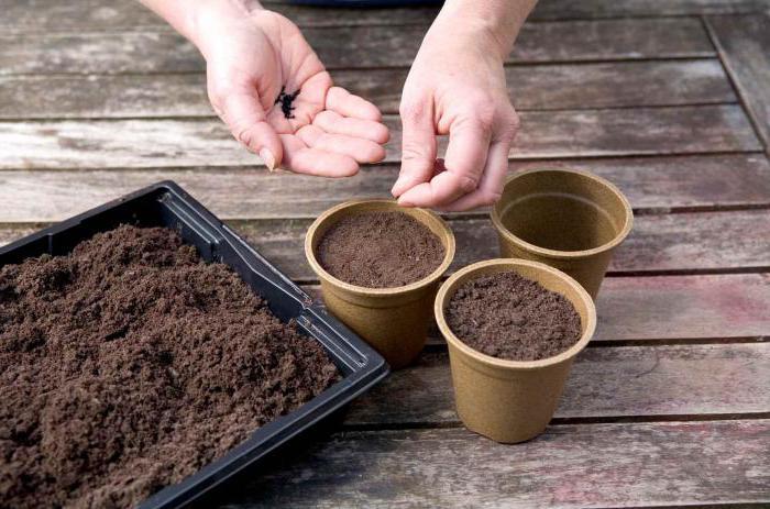 Инжир выращивание в домашних условиях: рекомендации садоводов по посадке и выращиванию
