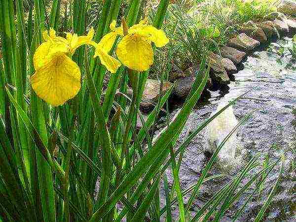 Цветок ирис – как выглядит, каких бывает окрасов, основные виды, особенности посадки и ухода