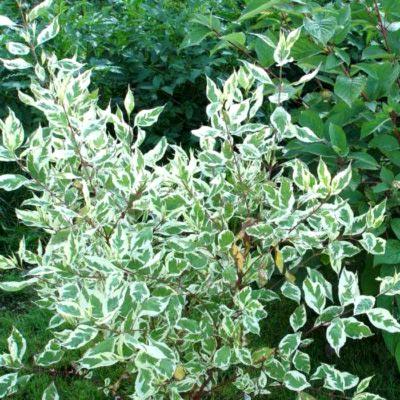 Дерен белый «сибирика вариегата»: описание растения, посадка и уход