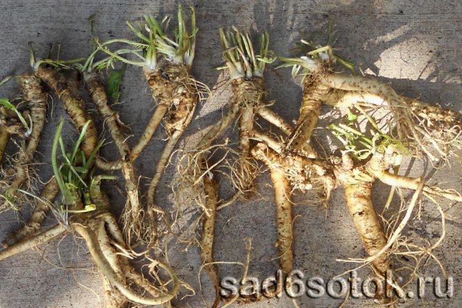 Особенности выращивания хрена: посадка, уход, полезные свойства