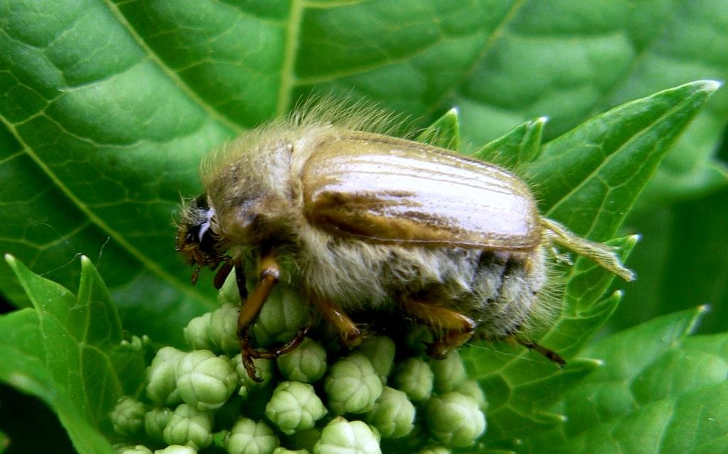 Как избавиться от личинок майского жука и медведки в огороде без химии