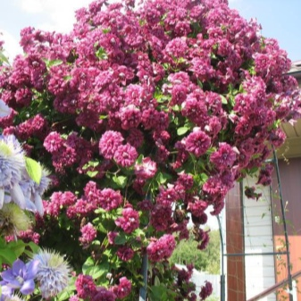 Клематис «пурпуреа плена элеганс»: описание сорта, фото и отзывы