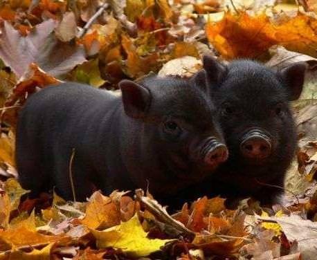 Вьетнамские вислобрюхие свиньи: характеристика, фото, содержание и уход