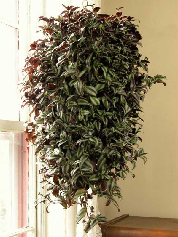 Вьющиеся комнатные растения (80 фото): виды и уход