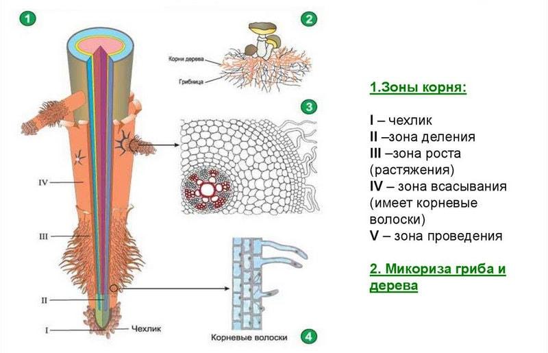 какие бывают виды корней