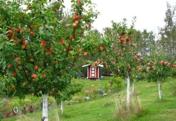 На каком расстоянии сажать яблони друг от друга, как рассадить от старого дерева