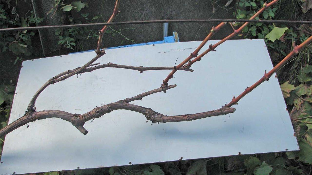 Как укрыть виноград на зиму в подмосковье: подготовка, чем утеплить, в какие сроки