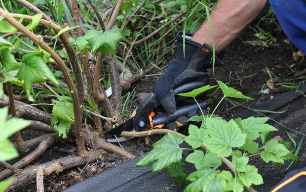 Черная смородина выращивание и уход, в том числе весной, а также основные этапы агротехники