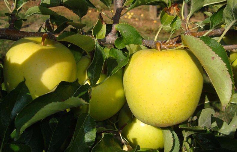 Яблоня ред чиф: описание, фото, отзывы