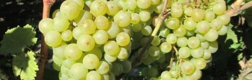 Красохина саженцы винограда каталог