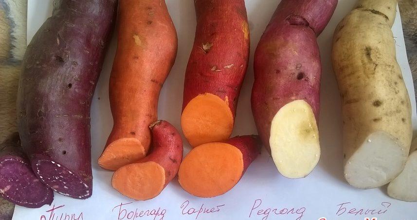 Польза и вред батата: что представляет собой этот экзотический овощ + лечебные свойства и противопоказания сладкого картофеля