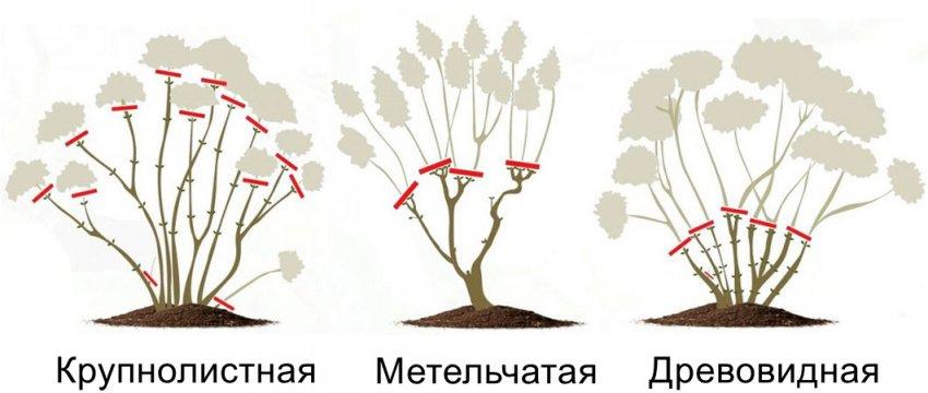 Обрезка гортензии осенью: подробная инструкция для новичков – дачные дела