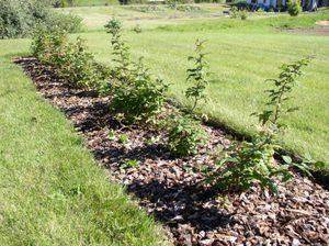 Посадка малины: когда и как сажать в открытый грунт, как правильно посадить осенью и весной