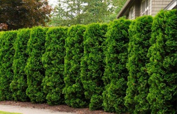 декоративные деревья для сада фото с названиями