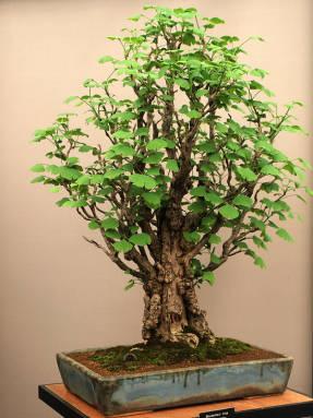 бонсай дерево живое