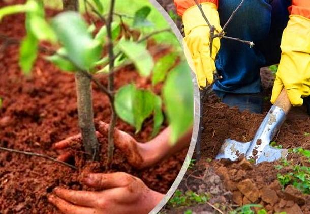 Когда можно сажать саженцы плодовых деревьев осенью
