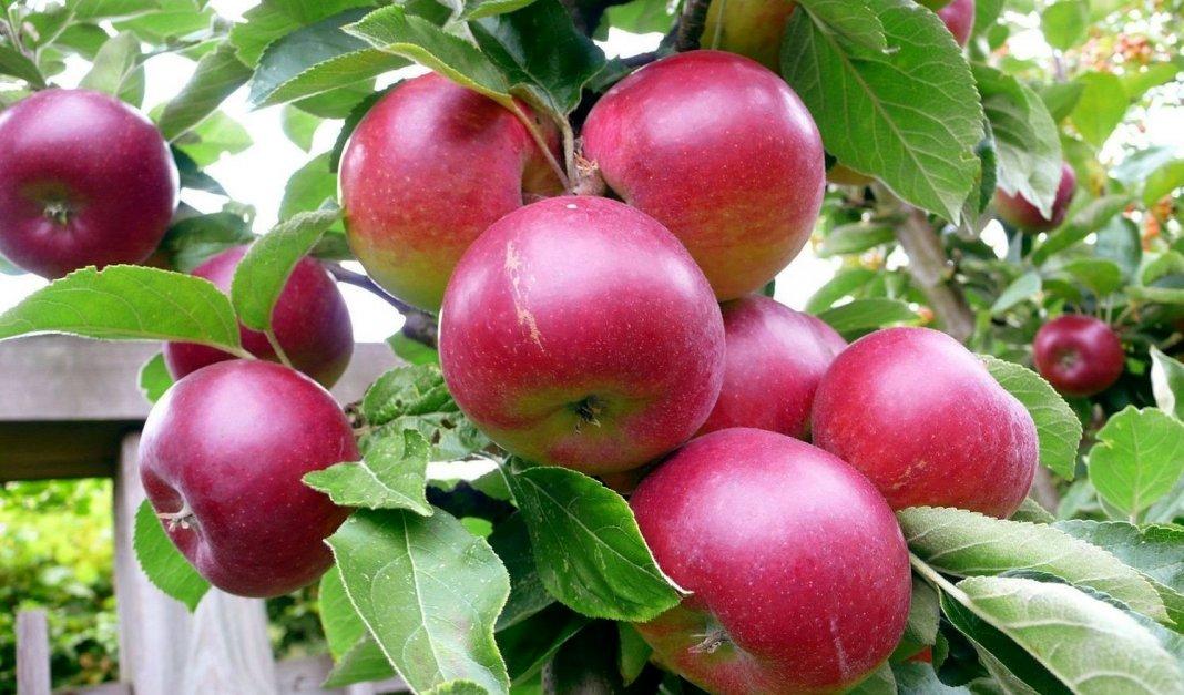 как узнать сорт яблони по яблоку