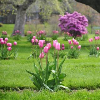 Посадка тюльпанов, нарциссов и других луковичных