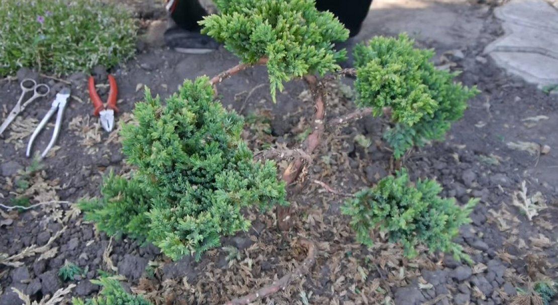 Садовый бонсай: отличие от ниваки, формирование сосны