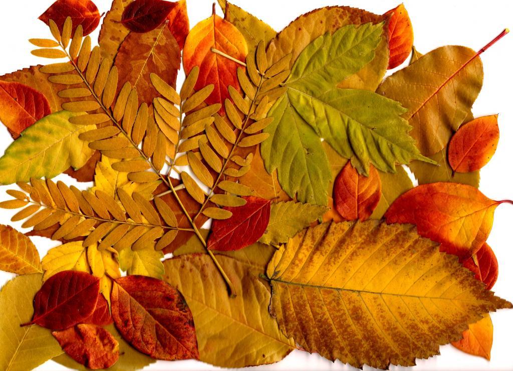 красивый листок