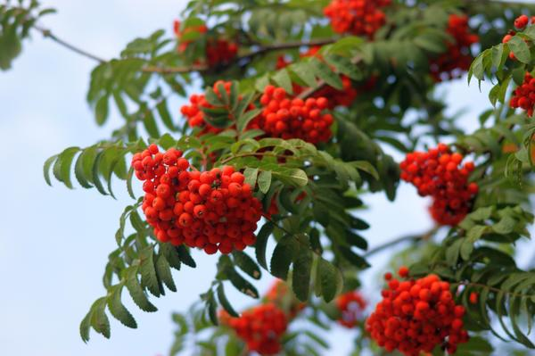 рябина красная дерево