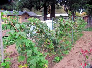 Как сажать малину: правильная посадка, уход, удобрение саженцев