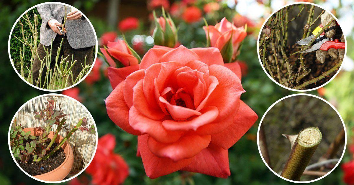 обрезка чайно гибридных роз осенью
