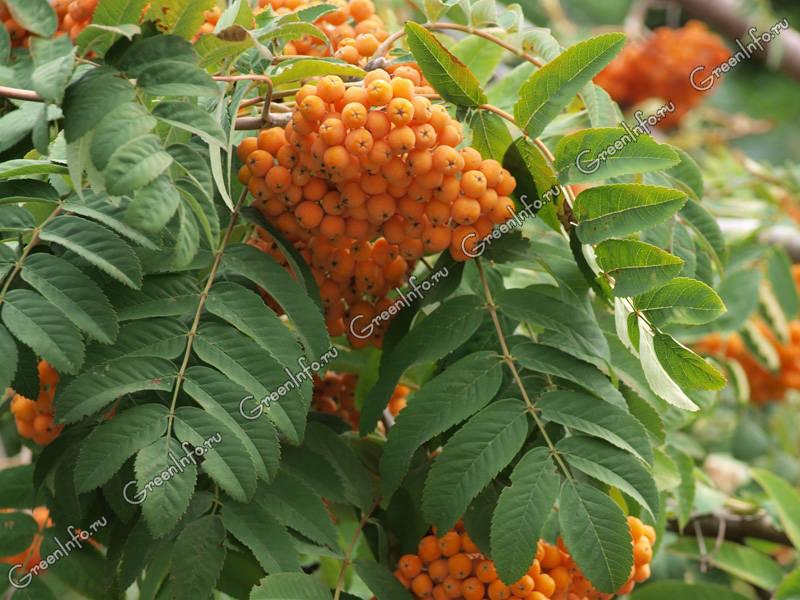 плоды рябины обыкновенной