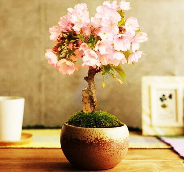 Где растет дерево сакура - японская вишня
