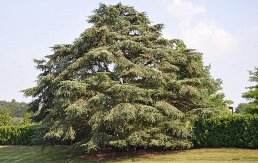 Кедровое дерево - 77 фото разных типов кедра и кедровых шишек