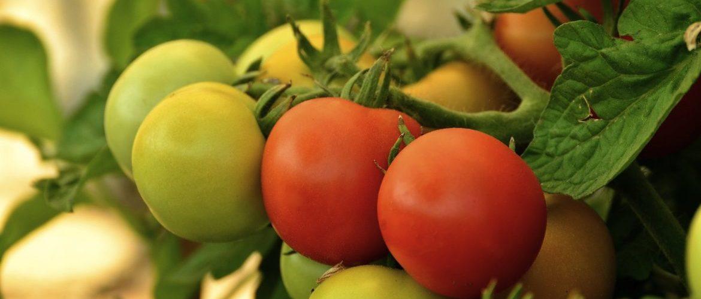 Как бороться с фитофторой на помидорах: пошаговая инструкция