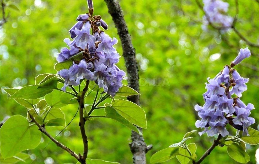 Павлония (адамово дерево): описание, фото, уход, выращивание, полив и отзывы