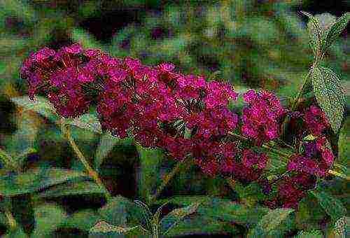 Секреты правильной пересадки будлеи осенью. как грамотно подготовить растение к зиме
