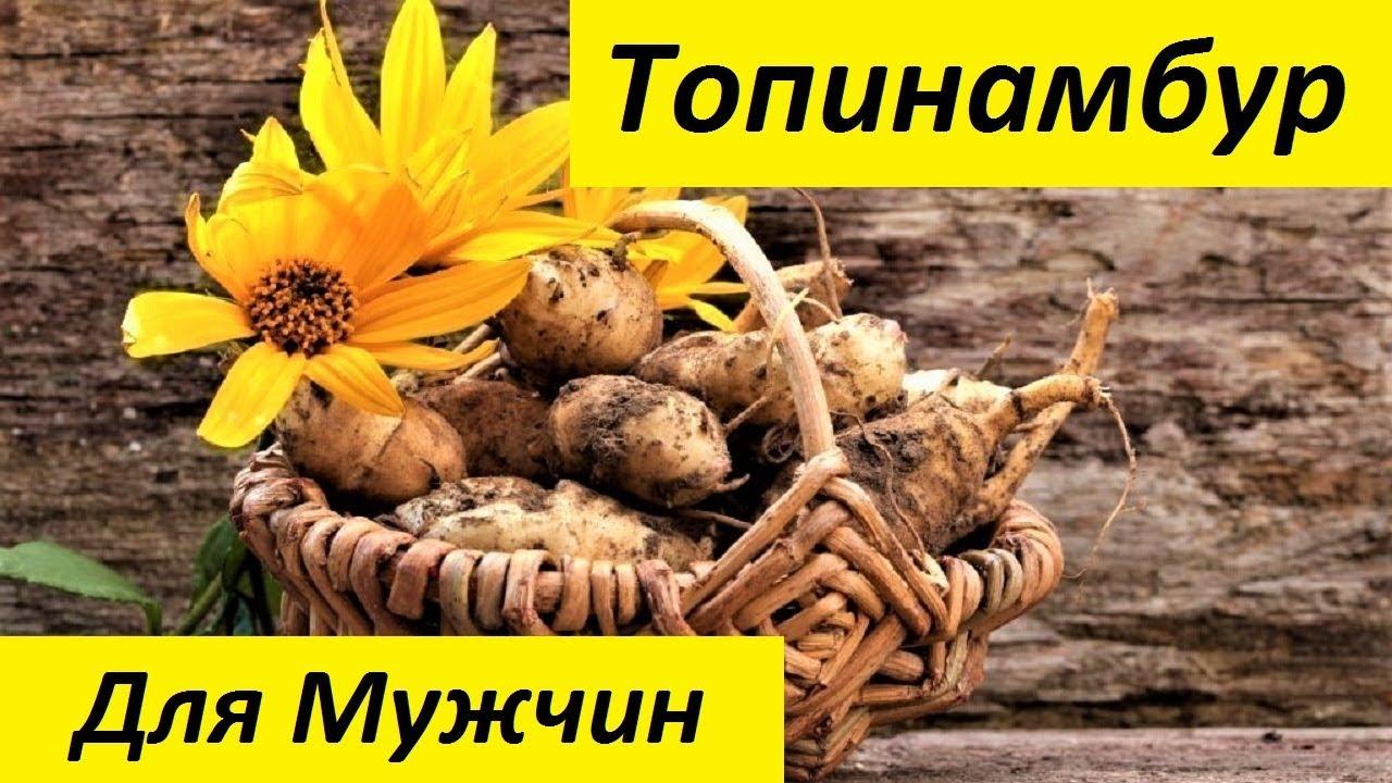 Топинамбур - выращивание и уход на даче