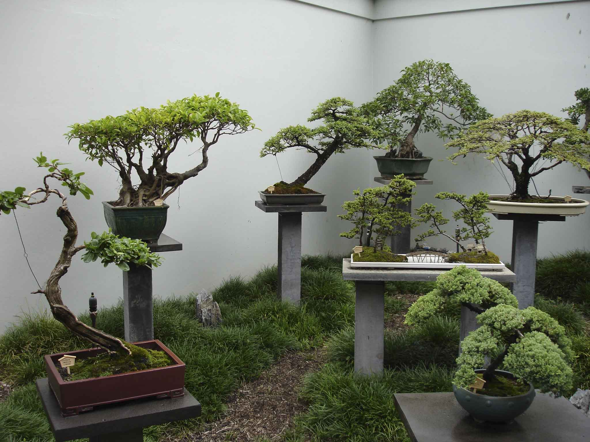 банзай дерево