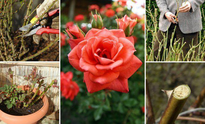 когда срезать розы на зиму