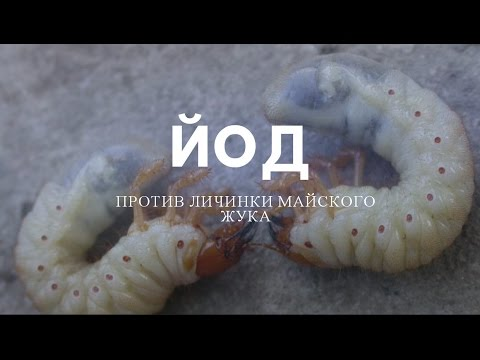 Личинки майского жука – фото и описание, как бороться