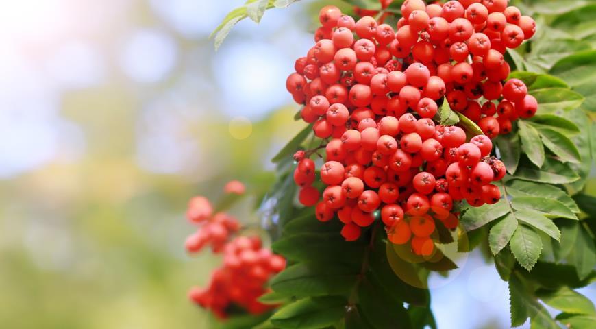 Дерево арония (рябина черноплодная): фото и описание, выращивание и уход